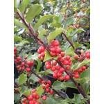 Holly 'berri-magic' - 3 gal