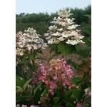 Hydrangea 'fire and ice' - 3 gal