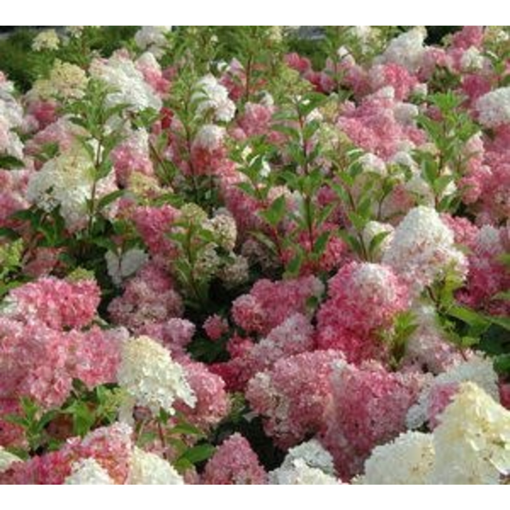 Hydrangea 'vanilla strawberry' - 3 gal