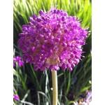 Allium Giganticum - 1 gal