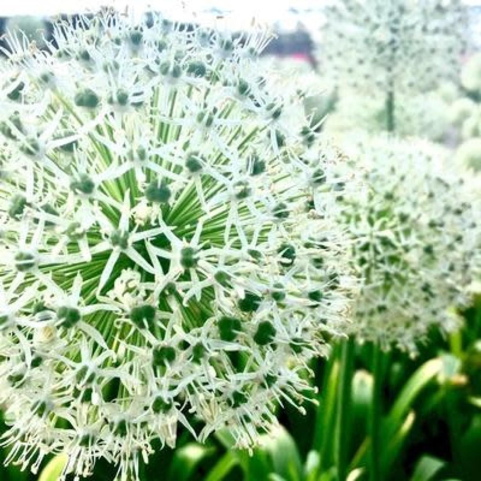 Allium Mt. Everest - 1 gal