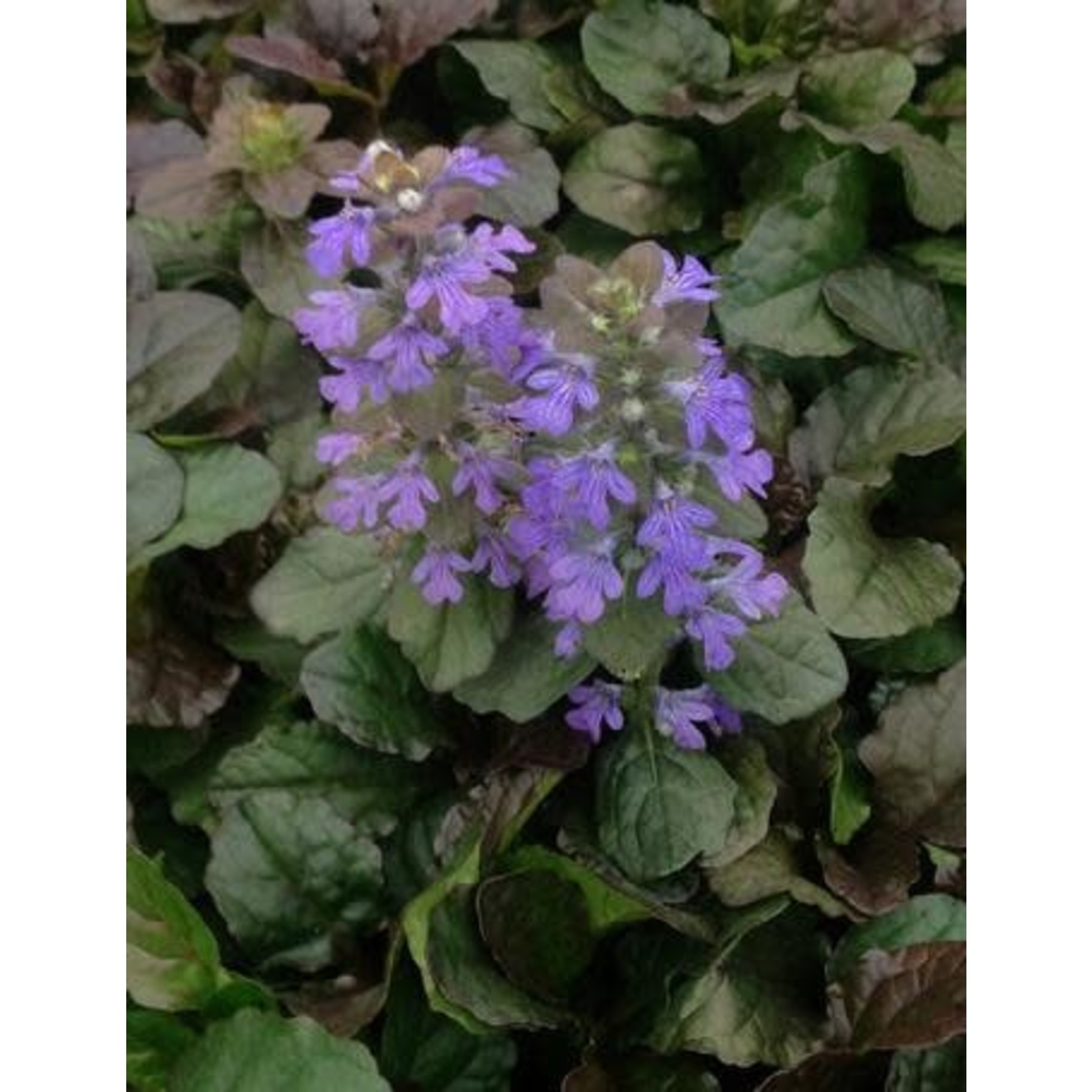 "4"" Perennial\ Bugleweed - Ajuga Bronze Beauty - 4"""