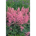 Astilbe Bressingham Beauty - 1 gal
