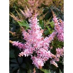 Astilbe Sugarberry - 1 gal