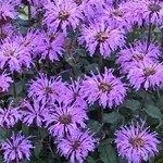 Beebalm 'blue moon' - 2 gal