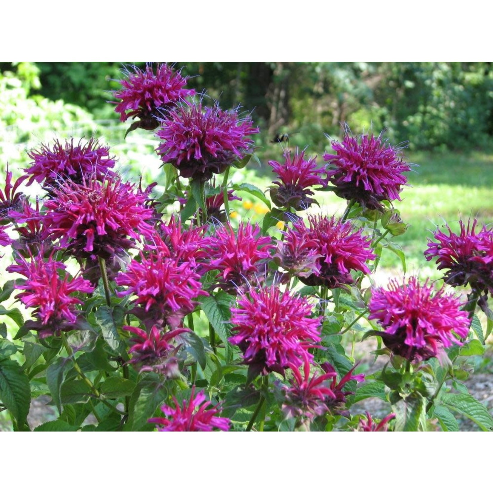 Beebalm 'grand marshall' - 1 gal