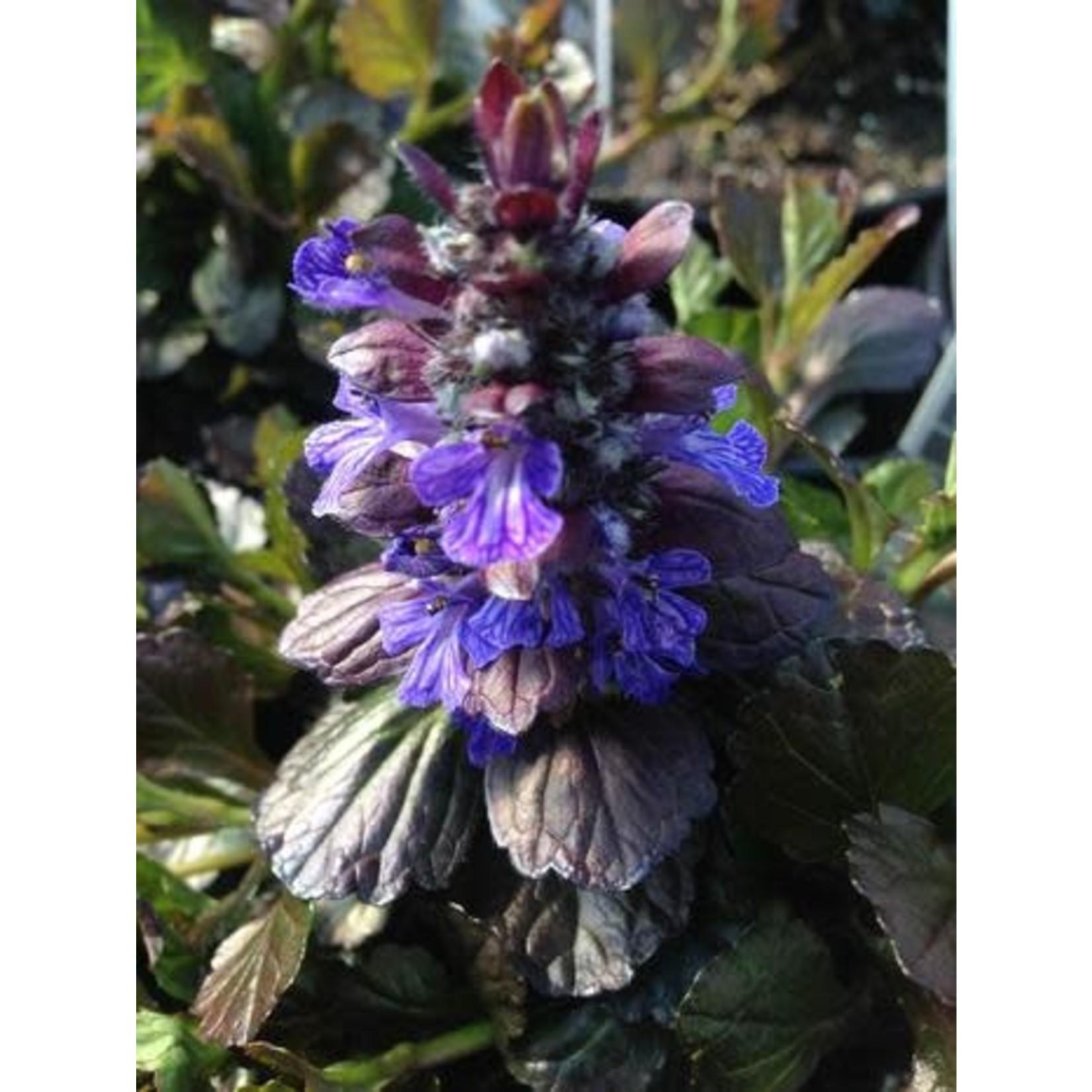 "4"" Perennial\ Bugleweed - Ajuga Black Scallop - 4"""