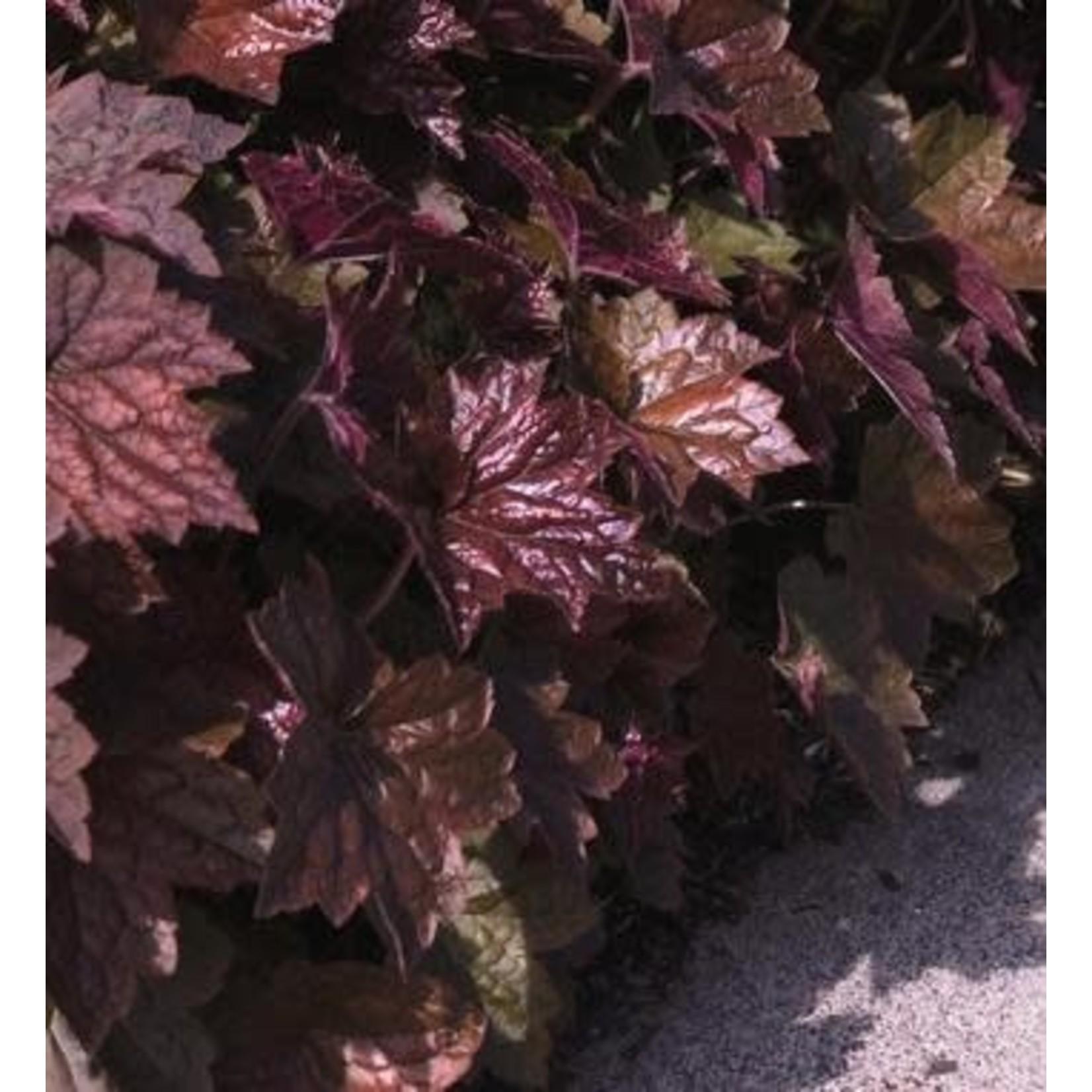 Coral Bells - Heuchera Palace Purple