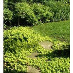"4"" Perennial\ Creeping Jenny - Lysimachia Num. Aurea - 4"""