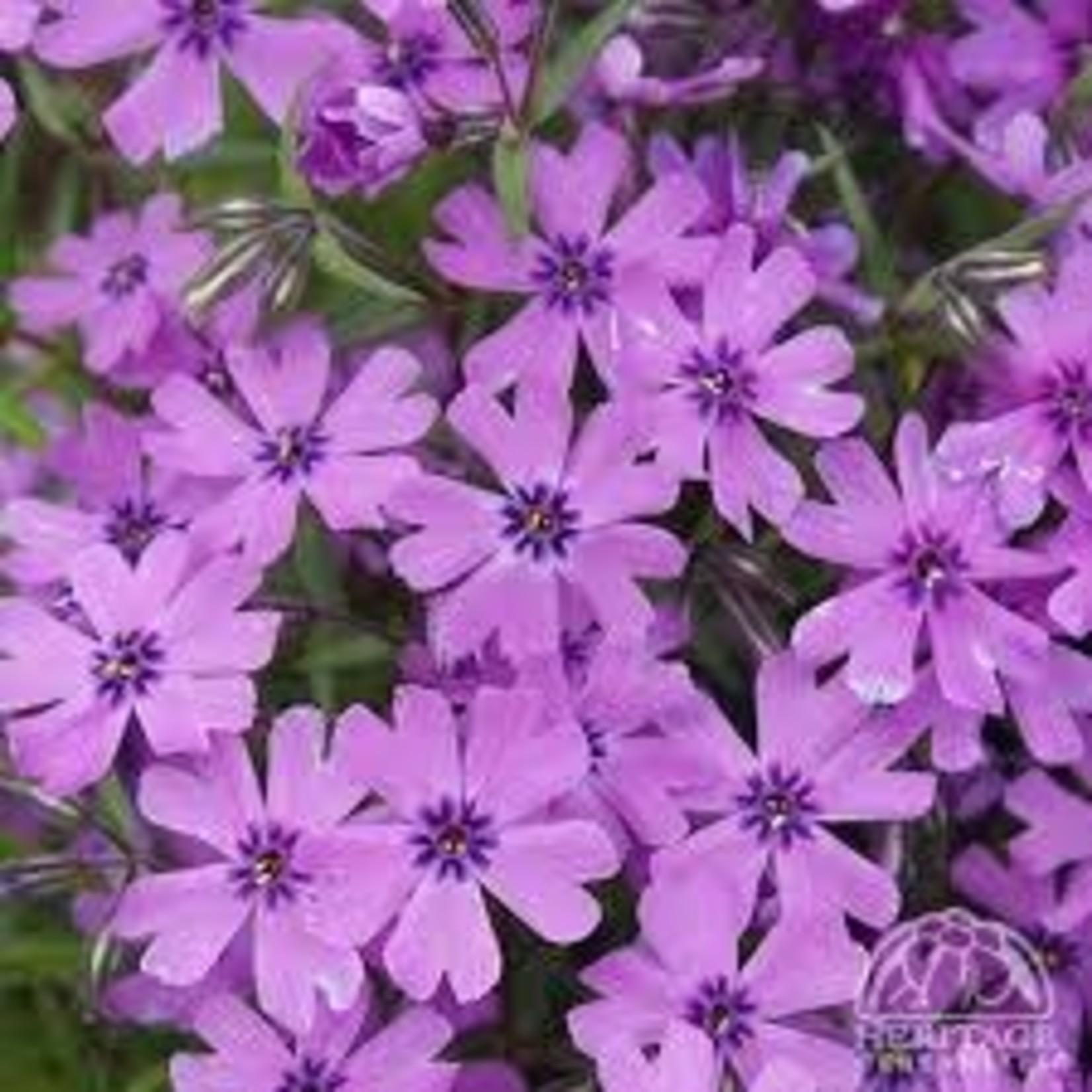 Creeping Phlox - Purple Beauty