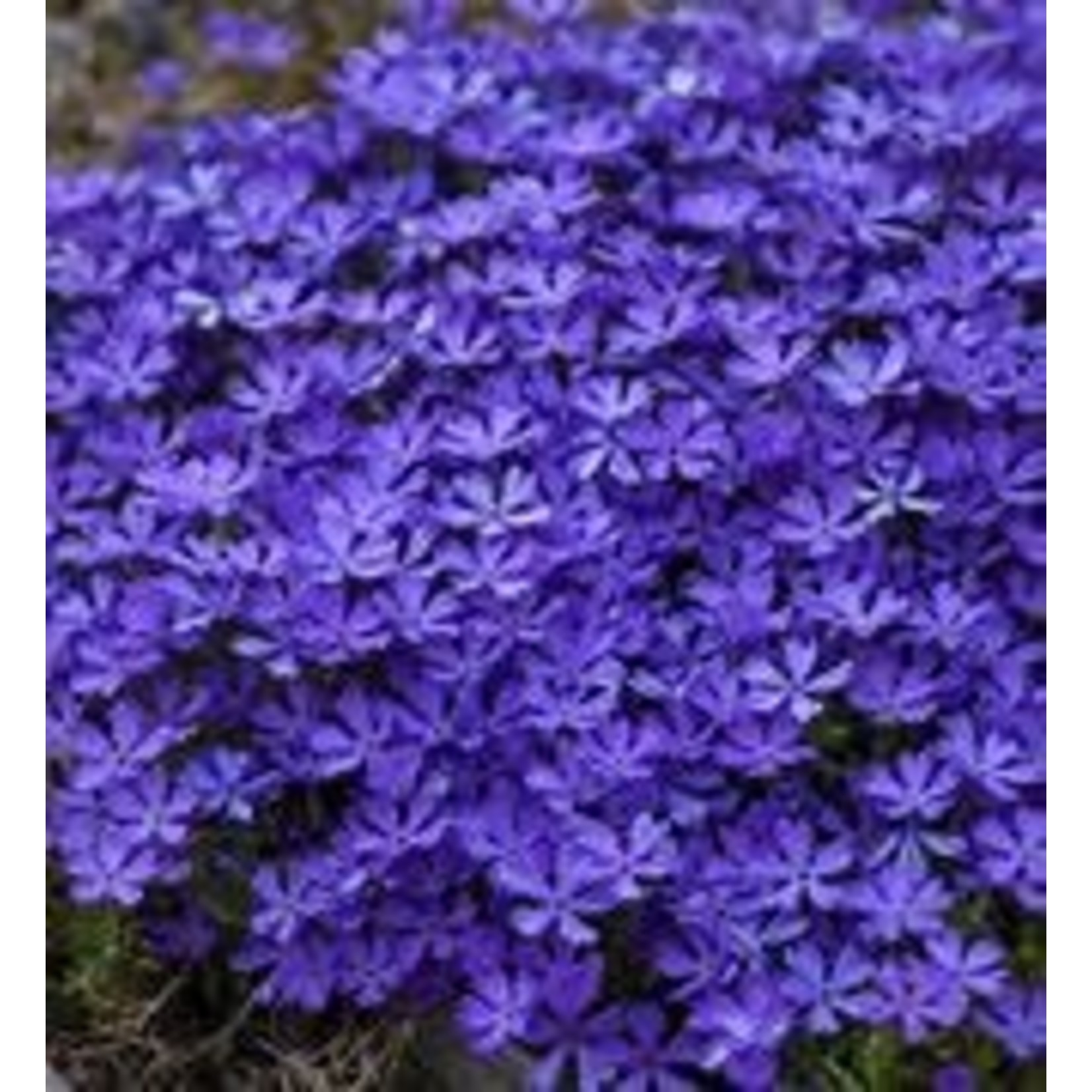 Creeping Phlox - Violet Pinwheels - 1 gal