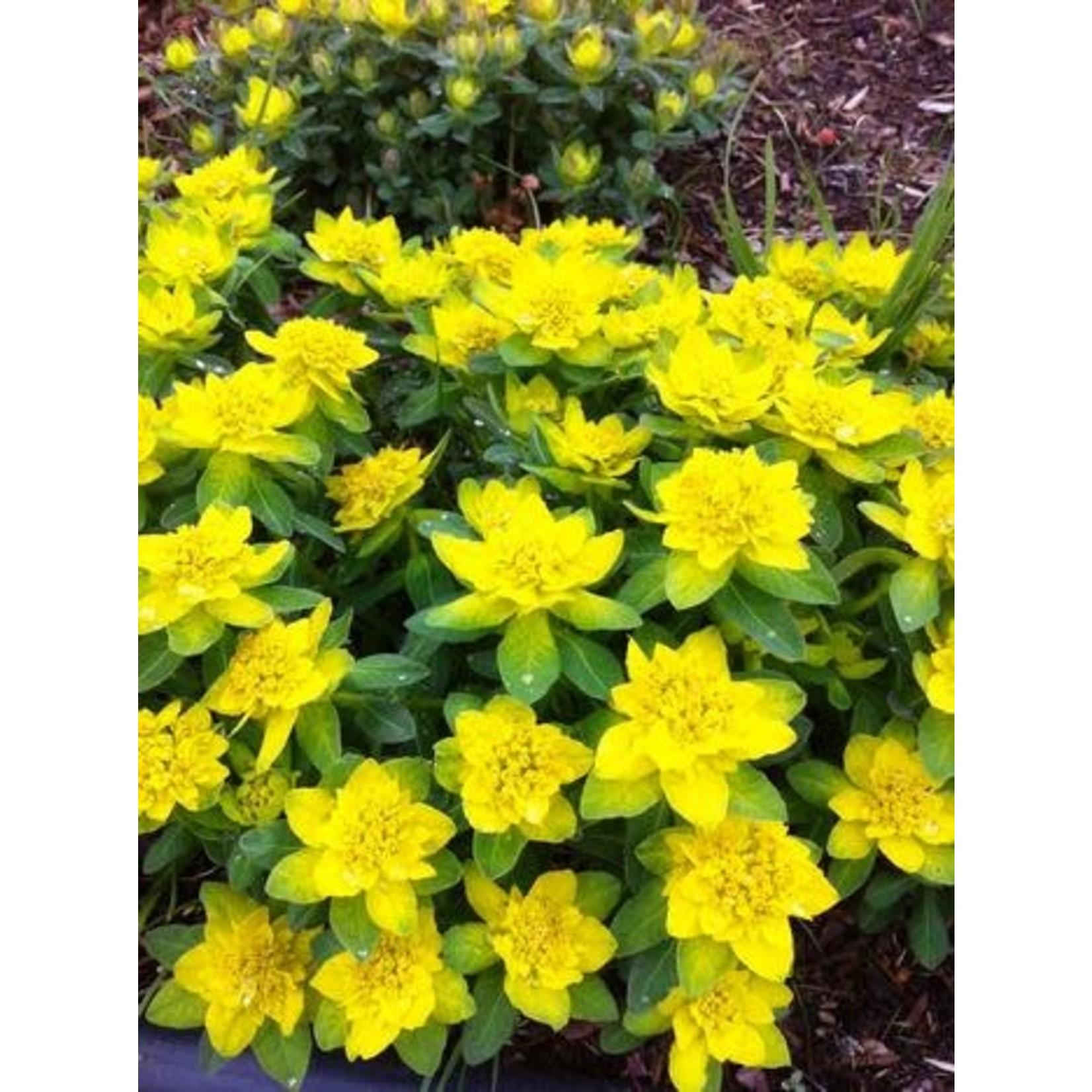 Cushion Spurge - Euphorbia Polychroma - 1 gal