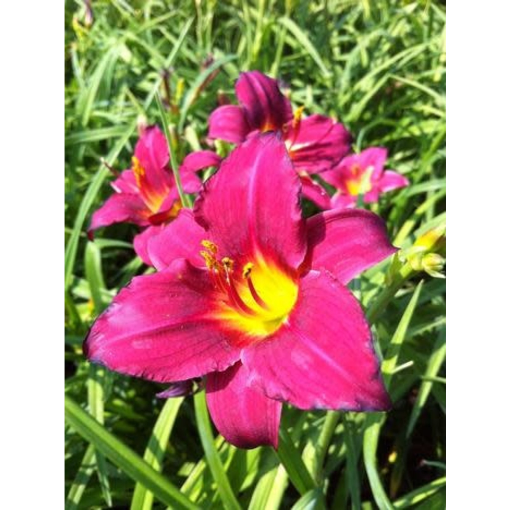 Daylily - Hemerocallis 'pardon me' - 1 gal