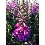 """4"""" Perennial\ Fox Glove - Digitalis Candy Mountain"""
