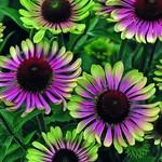 "4"" Perennial\ Cone Flower - Echinacea Green Twister"