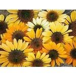 "4"" Perennial\ Cone Flower - Echinacea Mellow Yellows"