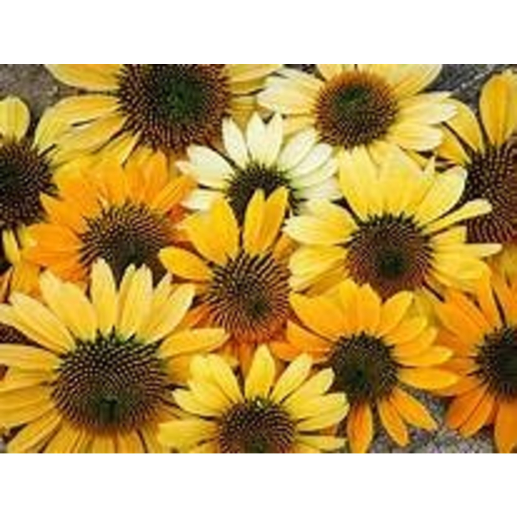 Cone Flower - Echinacea Mellow Yellows