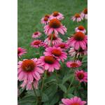 "4"" Perennial\ Cone Flower - Echinacea Ruby Star"