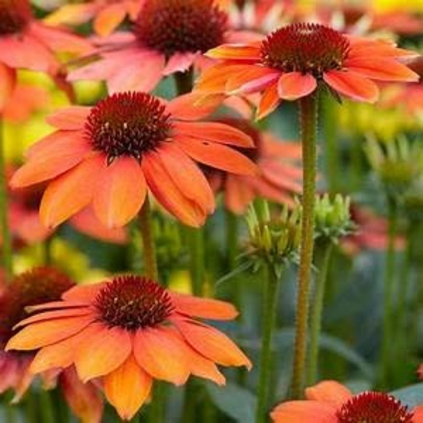 Cone Flower - Echinacea Sombrero Flamenco Orange - 1 gal