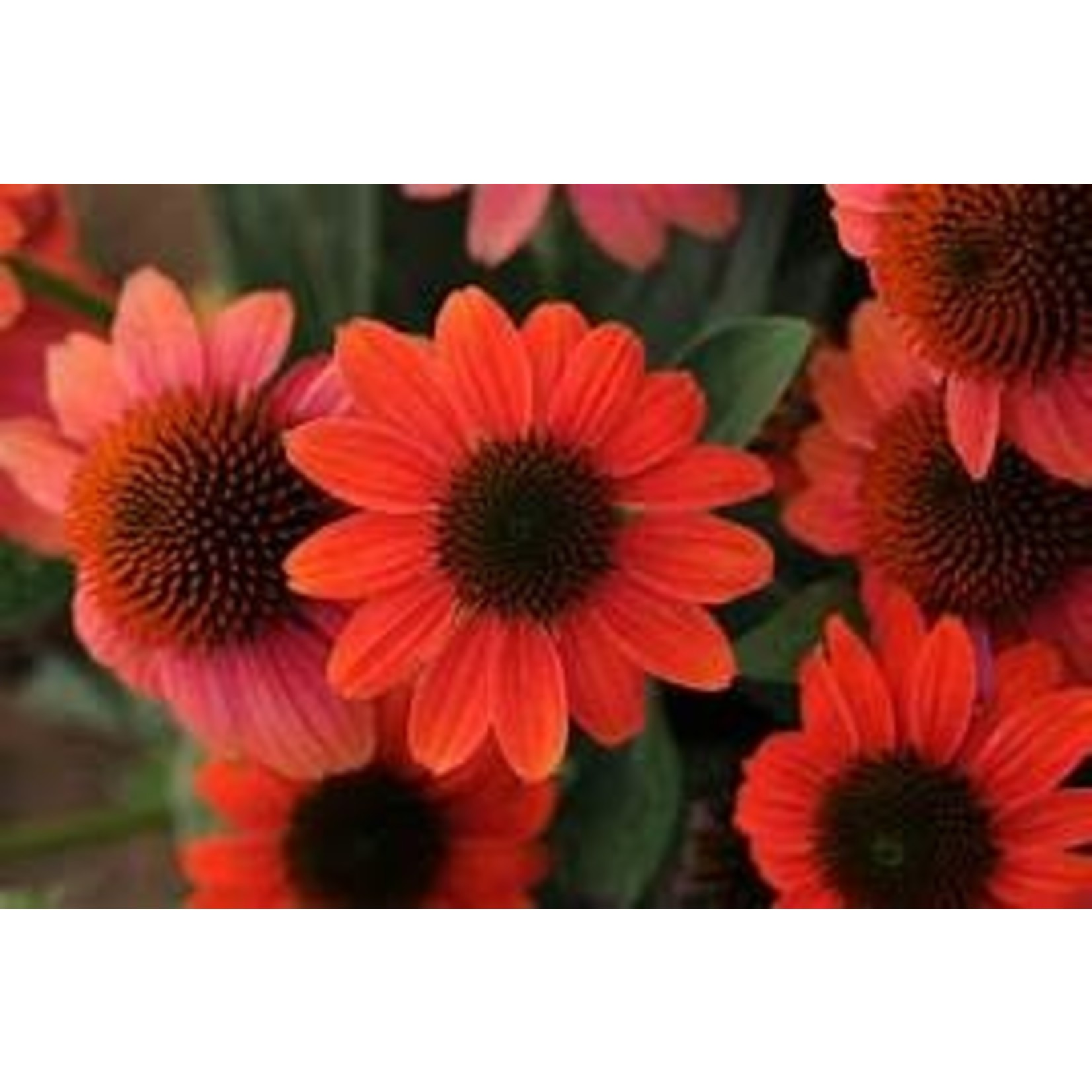 Cone Flower - Echinacea Sombrero Hot Coral - 1 gal