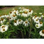 "4"" Perennial\ Cone Flower - Echinacea White Swan"