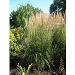 Feather Reed Grass - calamagrostis 'Karl Foerster'