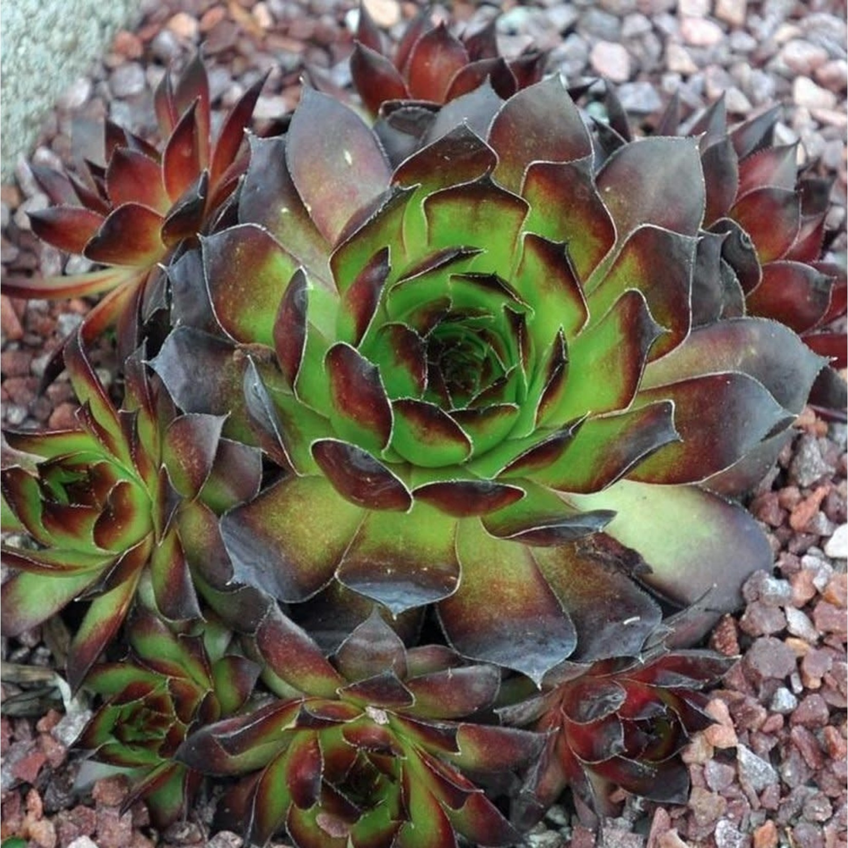 Hens and Chicks - Sempervivum Black - 4""