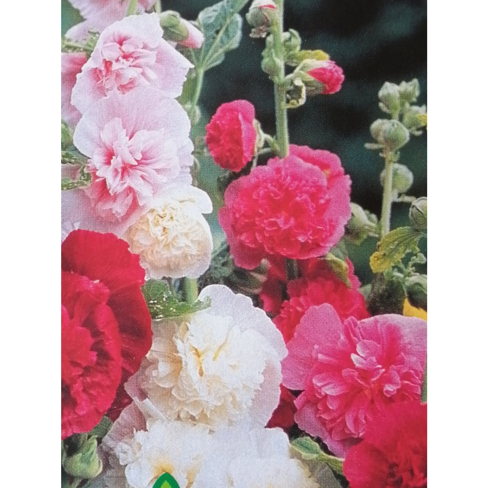 """Hollyhock - Alcea Chater's Double Mix - 4"""""""