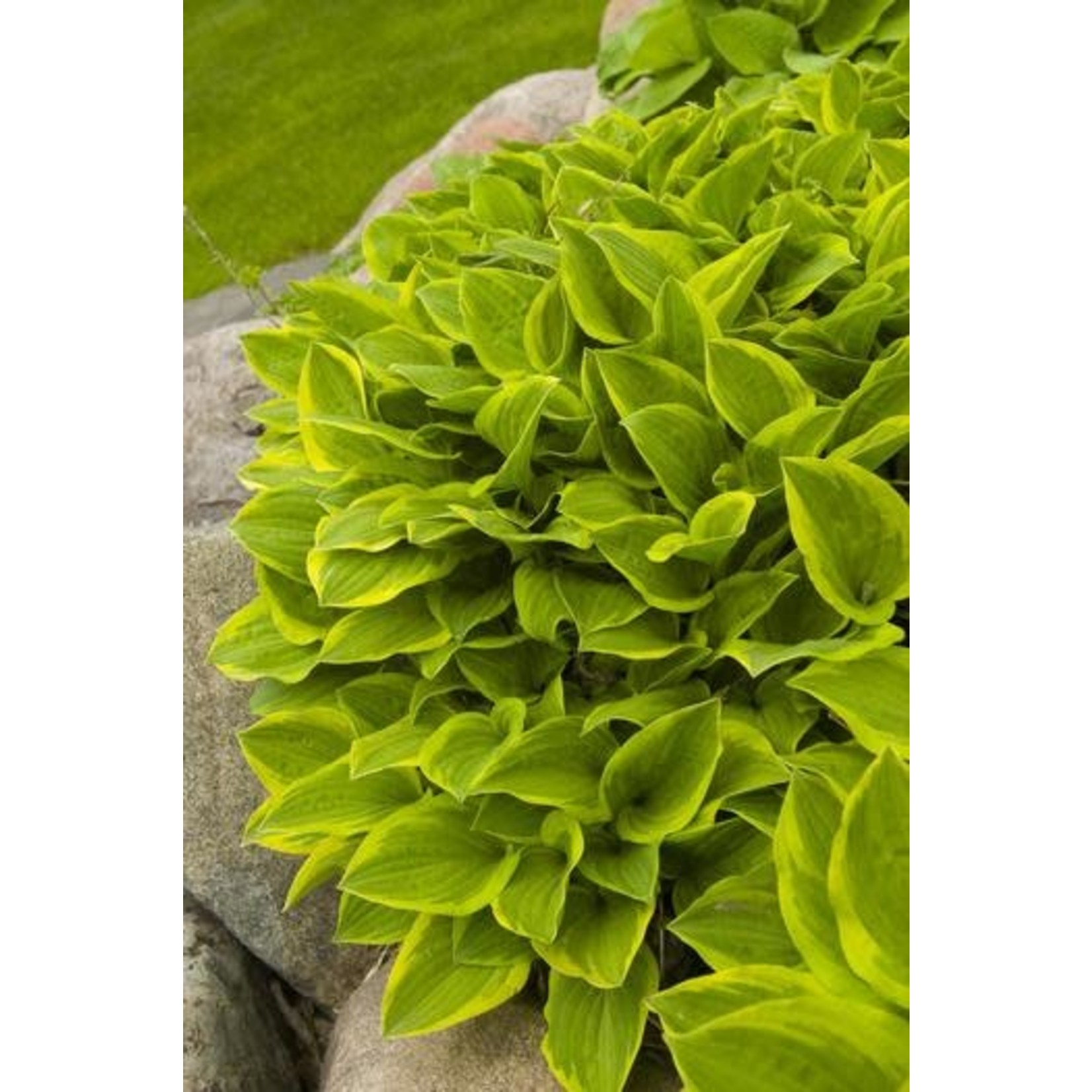 Hosta - Golden Tiara - 1 gal