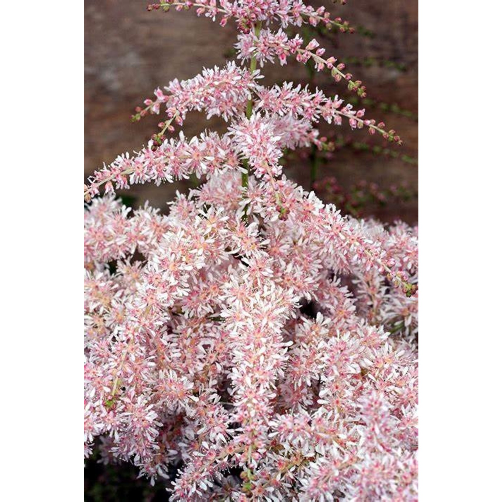 Astilbe Pink Lightening - 1 gal