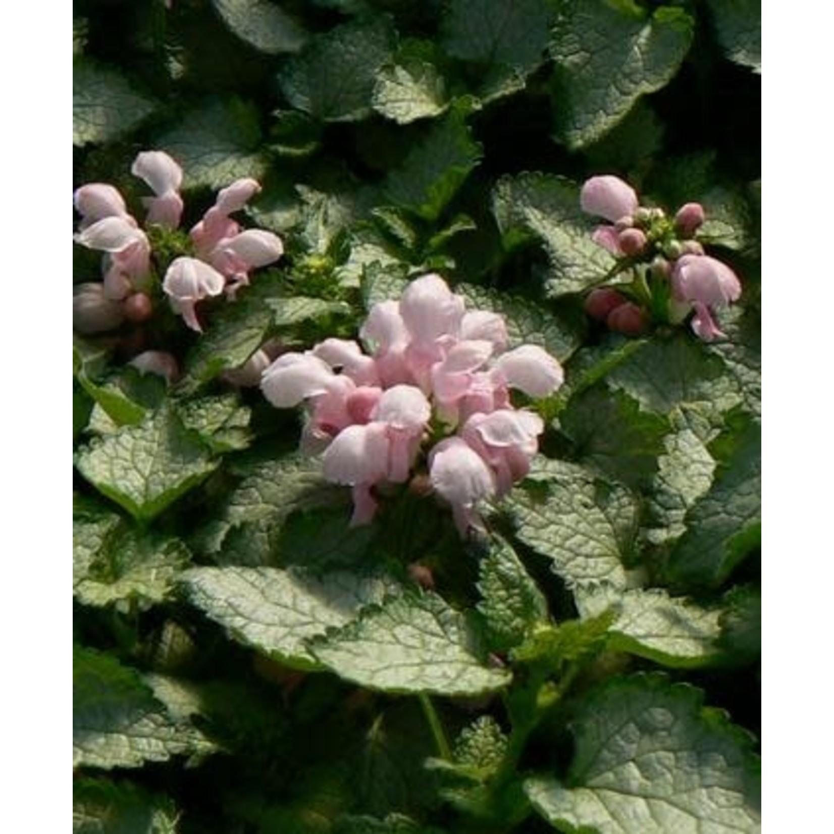 """4"""" Perennial\ Lamium Pink Pewter - 4"""""""