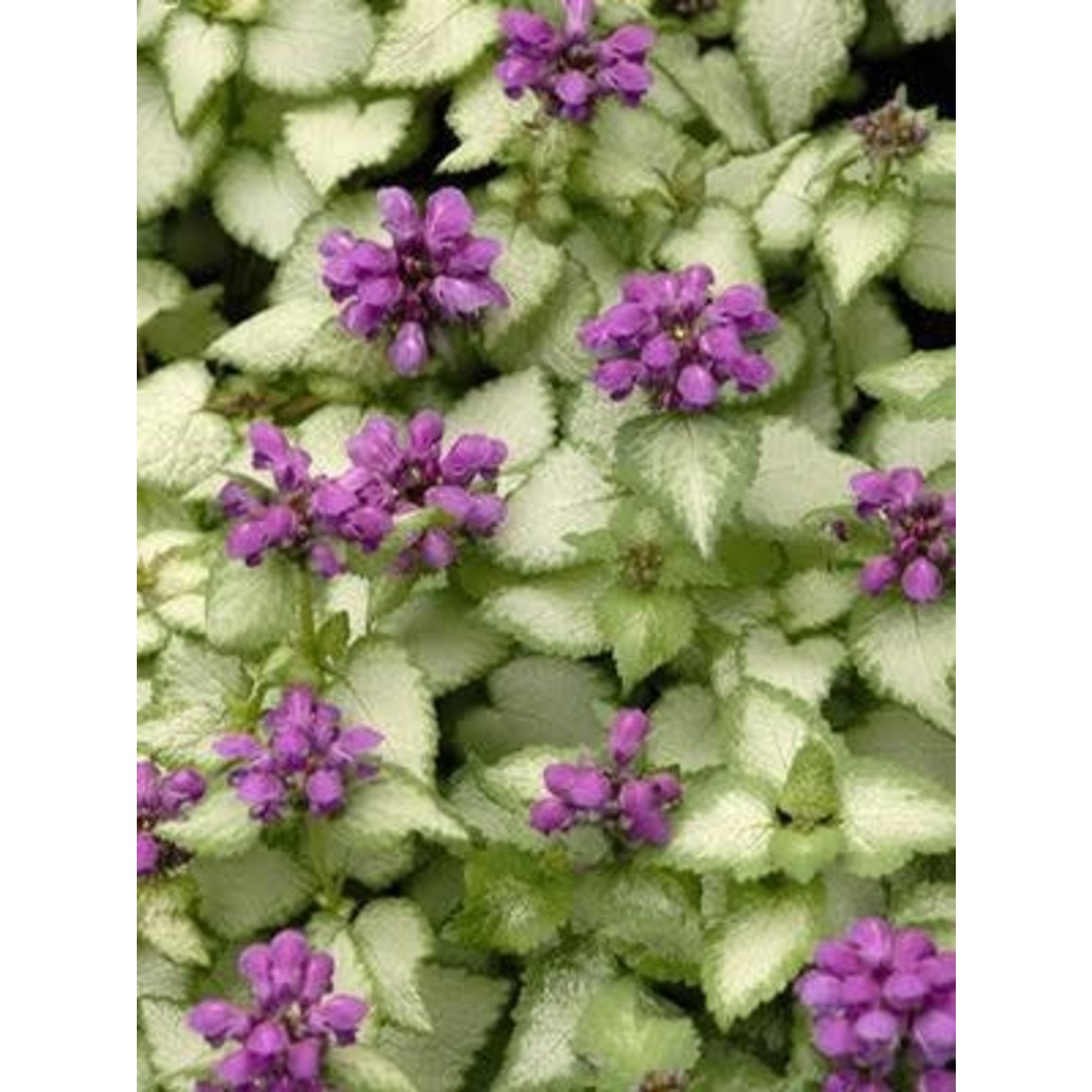 Lamium Purple Dragon - 4""