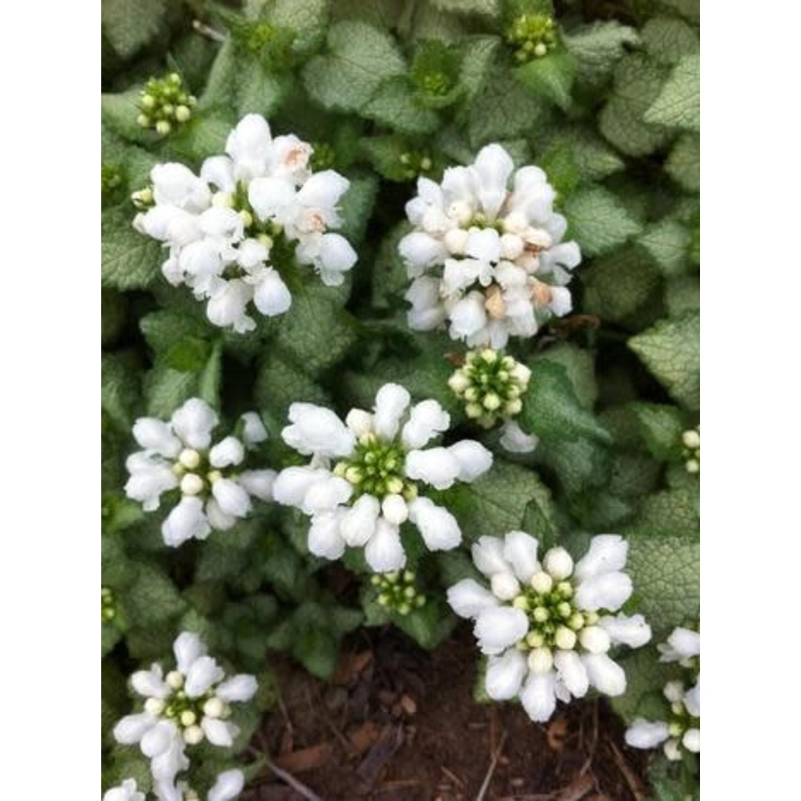 "4"" Perennial\ Lamium White Nancy - 4"""