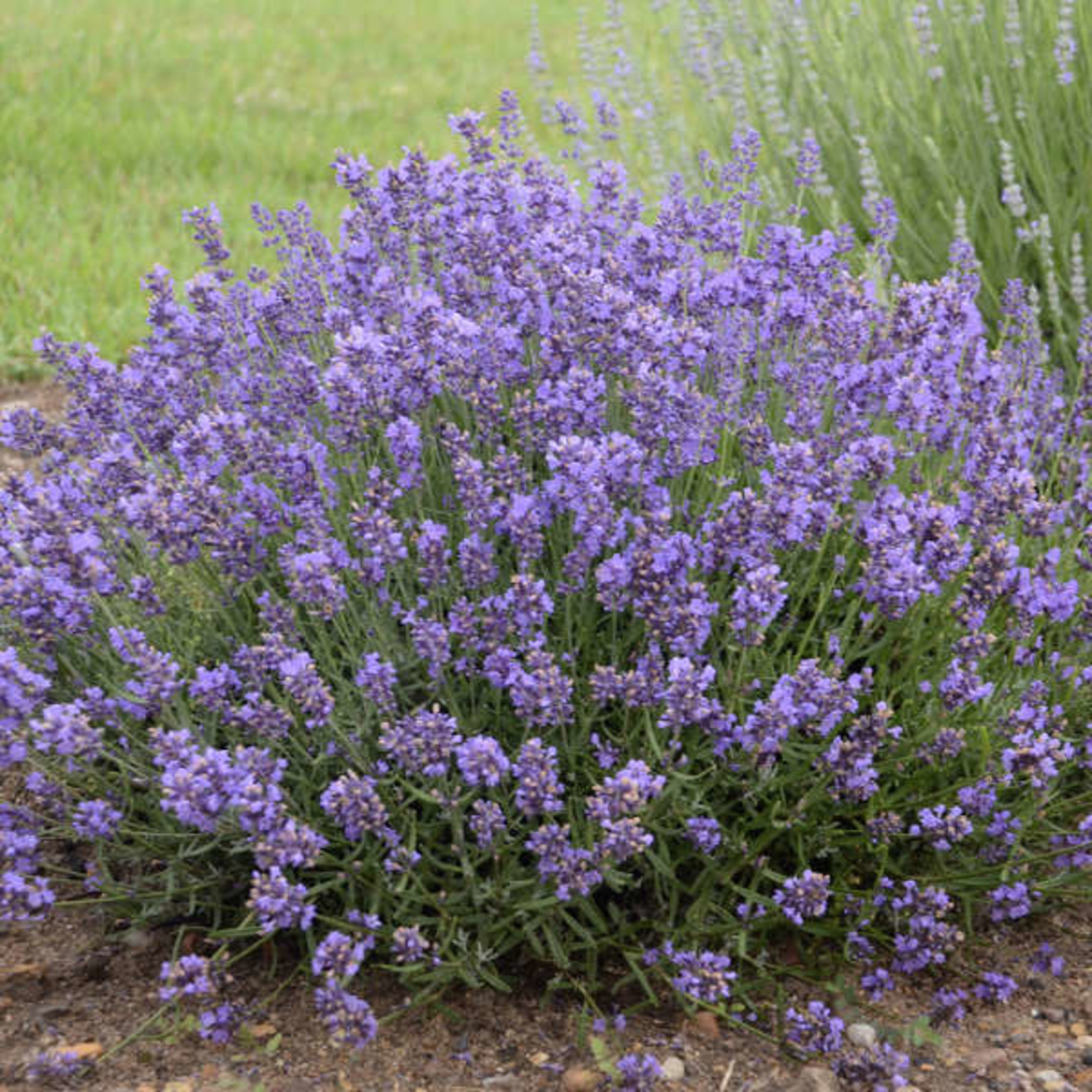 Lavender - Essence Purple - 2 gal