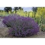 "4"" Perennial\ Lavender - Lavandula Hidcote"