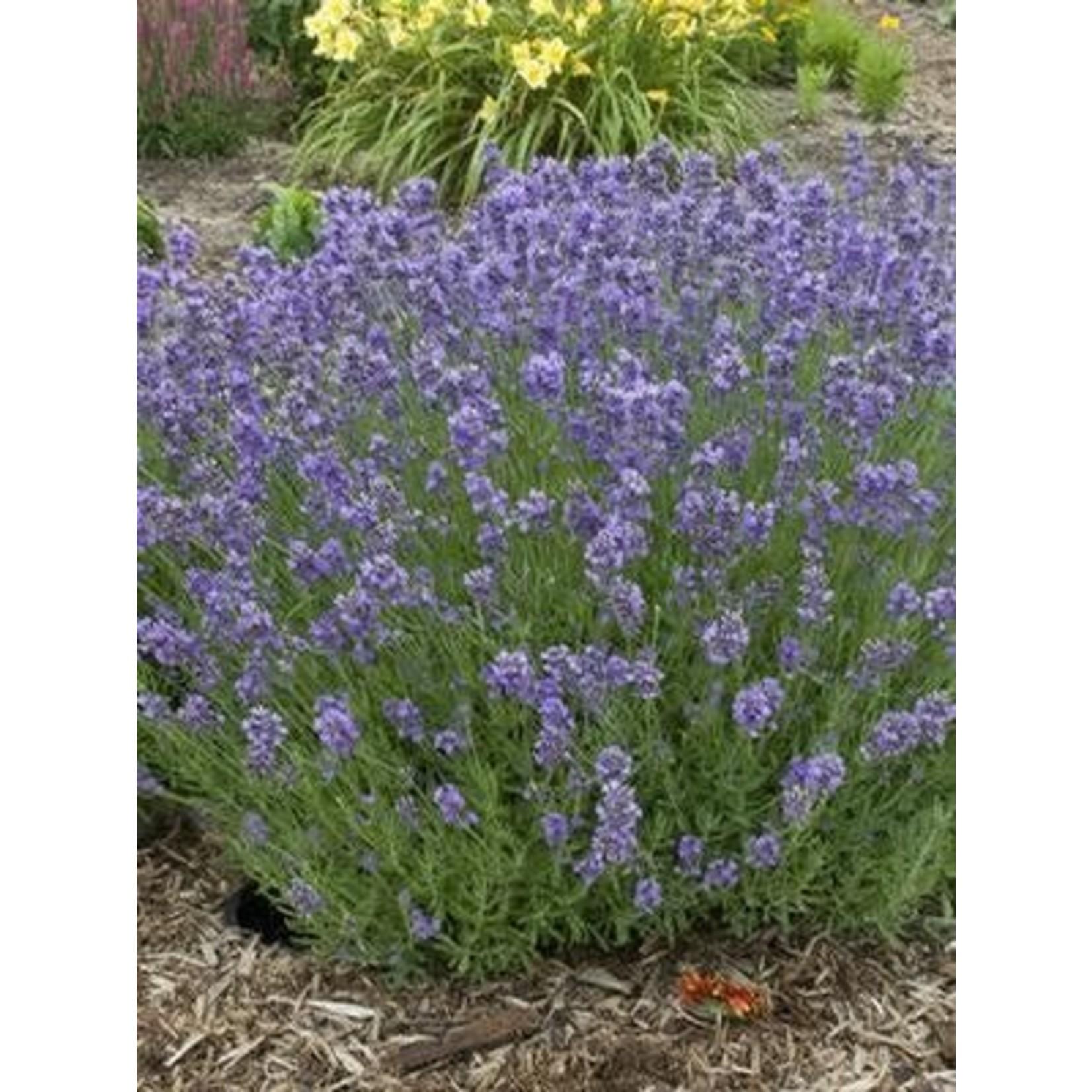 "4"" Perennial\ Lavender - Lavandula Munstead"