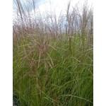 Maiden Grass - miscanthus 'gracillium'