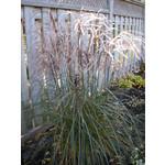 Maiden Grass - miscanthus 'huron sunrise'