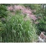 Giant Silver Grass - miscanthus 'giganteus'