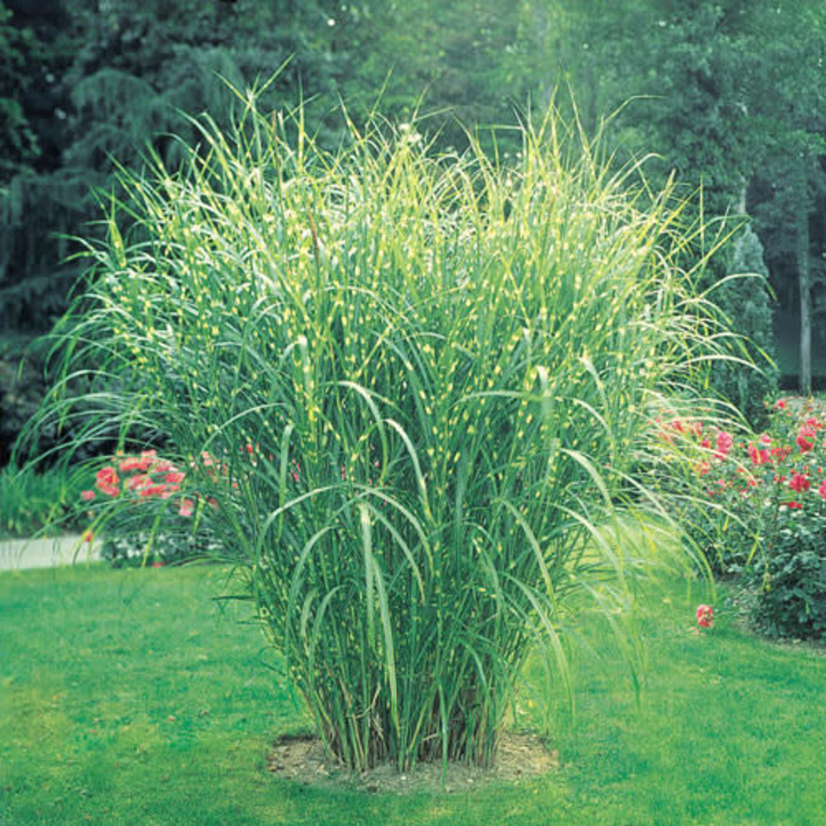 Zebra Grass - miscanthus 'zebrinus'
