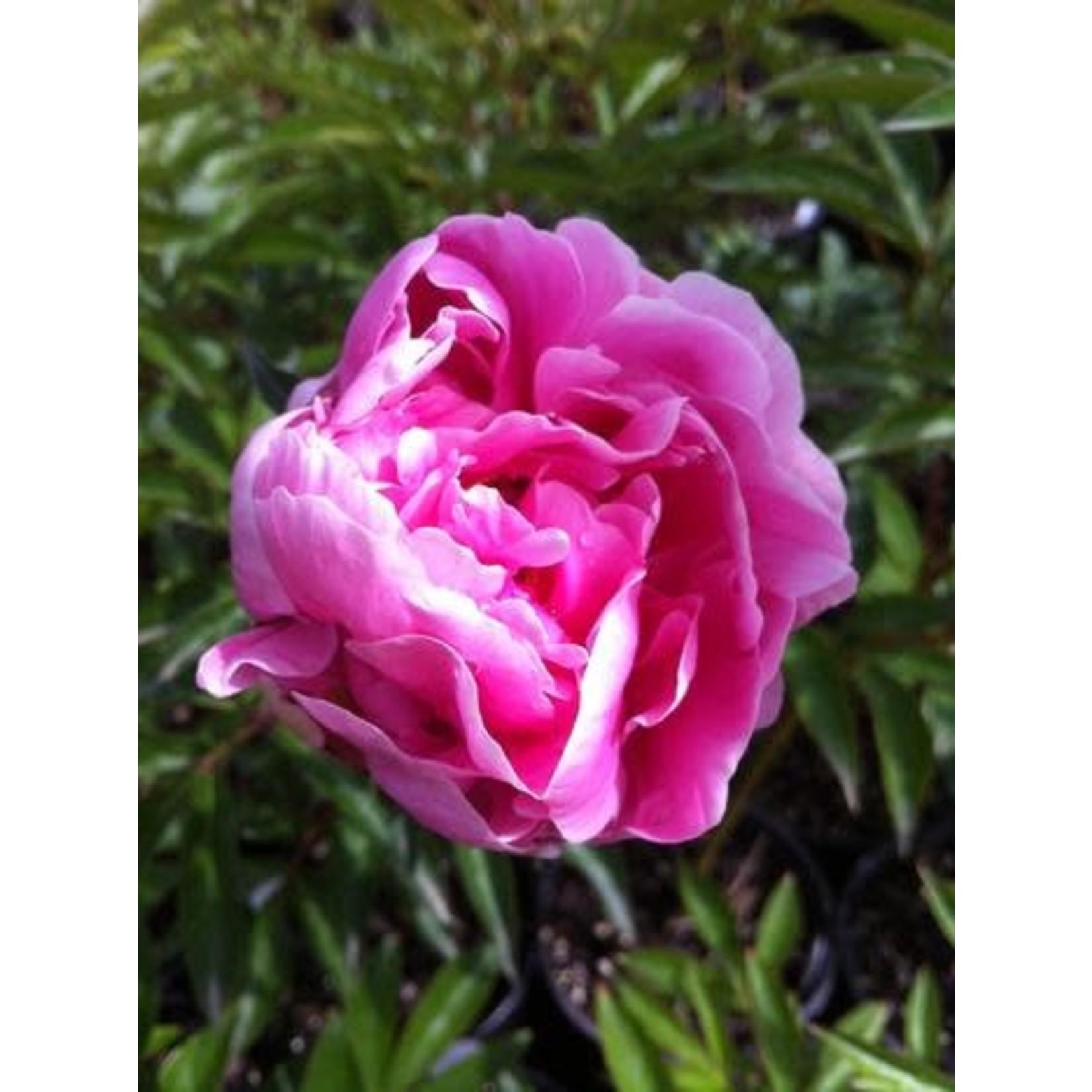 Peony 'sarah bernhard pink' - 1 gal