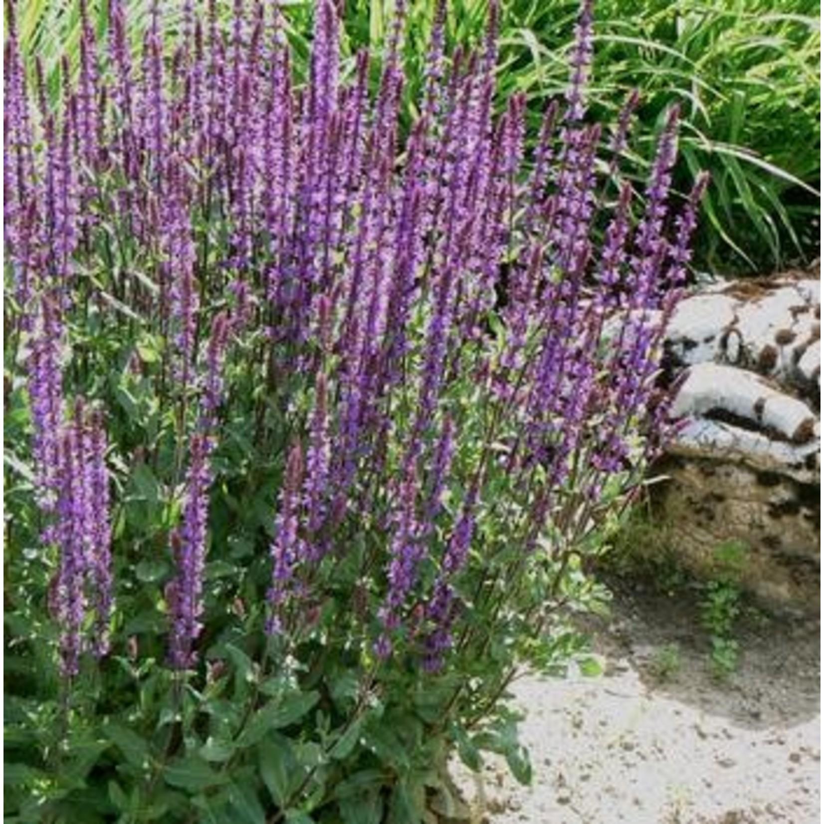 "4"" Perennial\ Perennial Sage - Salvia Caradonna"