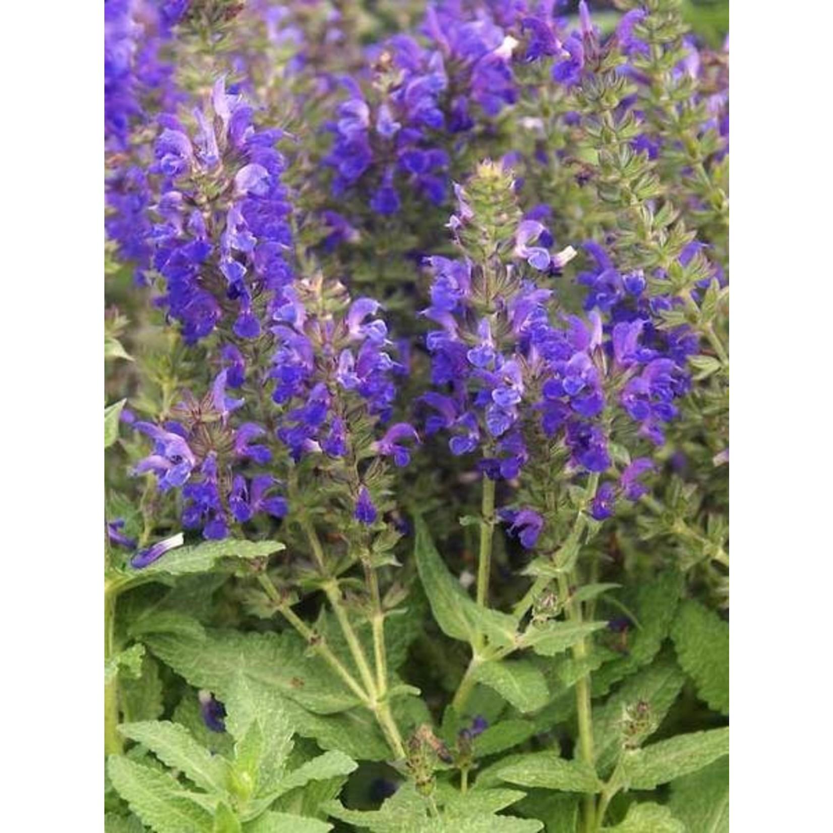 """4"""" Perennial\ Perennial Sage - Salvia Marcus"""