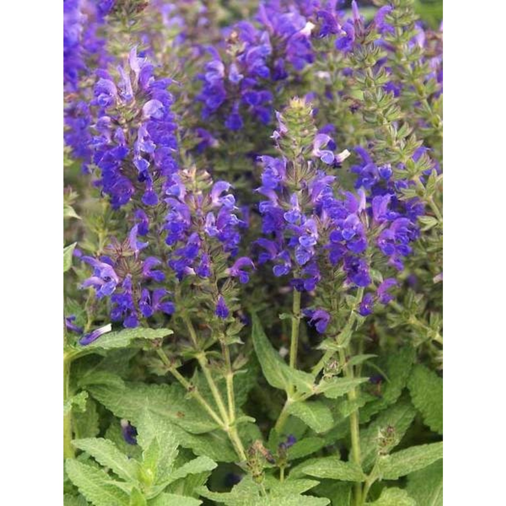 Perennial Sage - Salvia Marcus