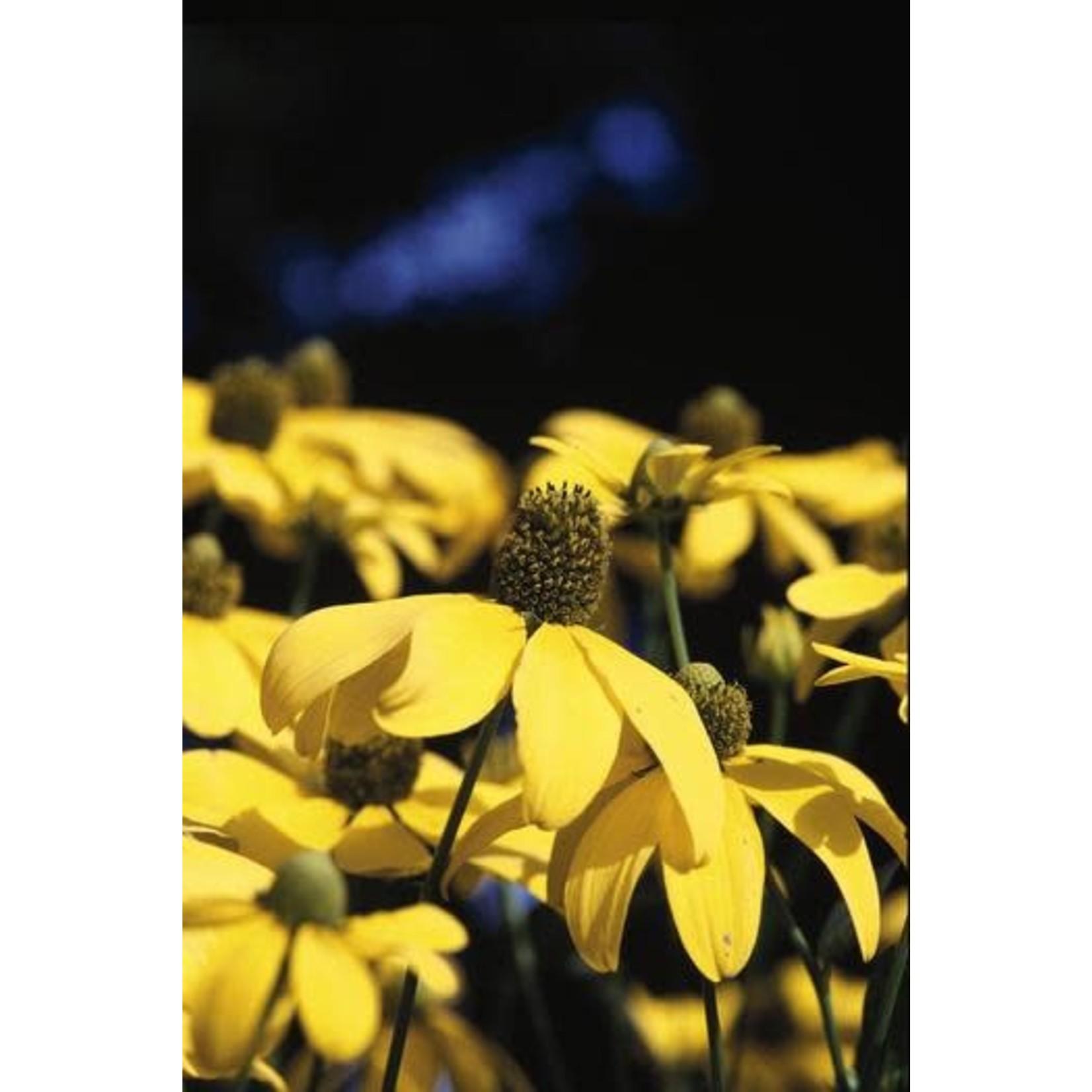 Cone Flower 'Rudbeckia Herbstonne' - 1 gal