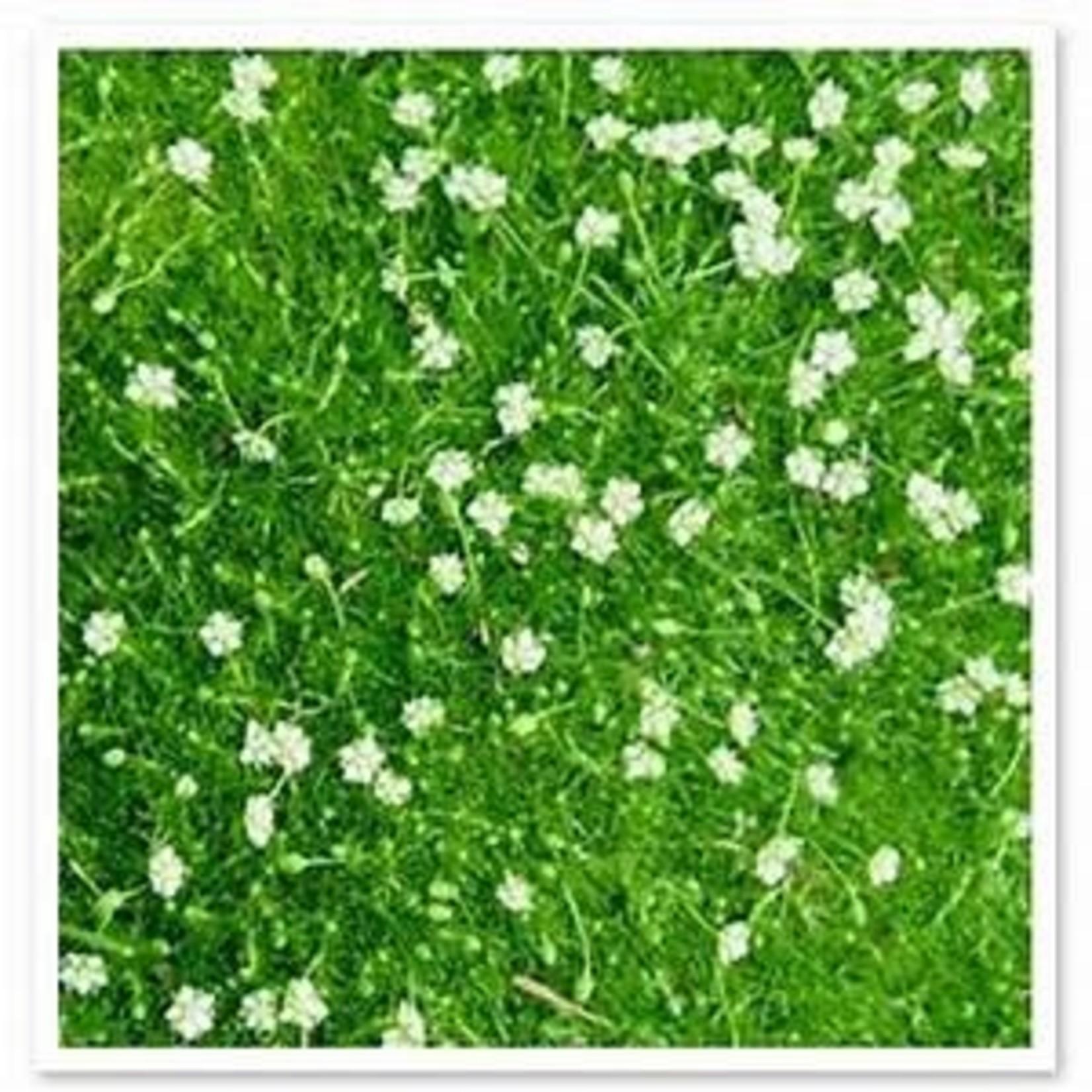 "Green Irish Moss - Sagina Green Irish - 4"""