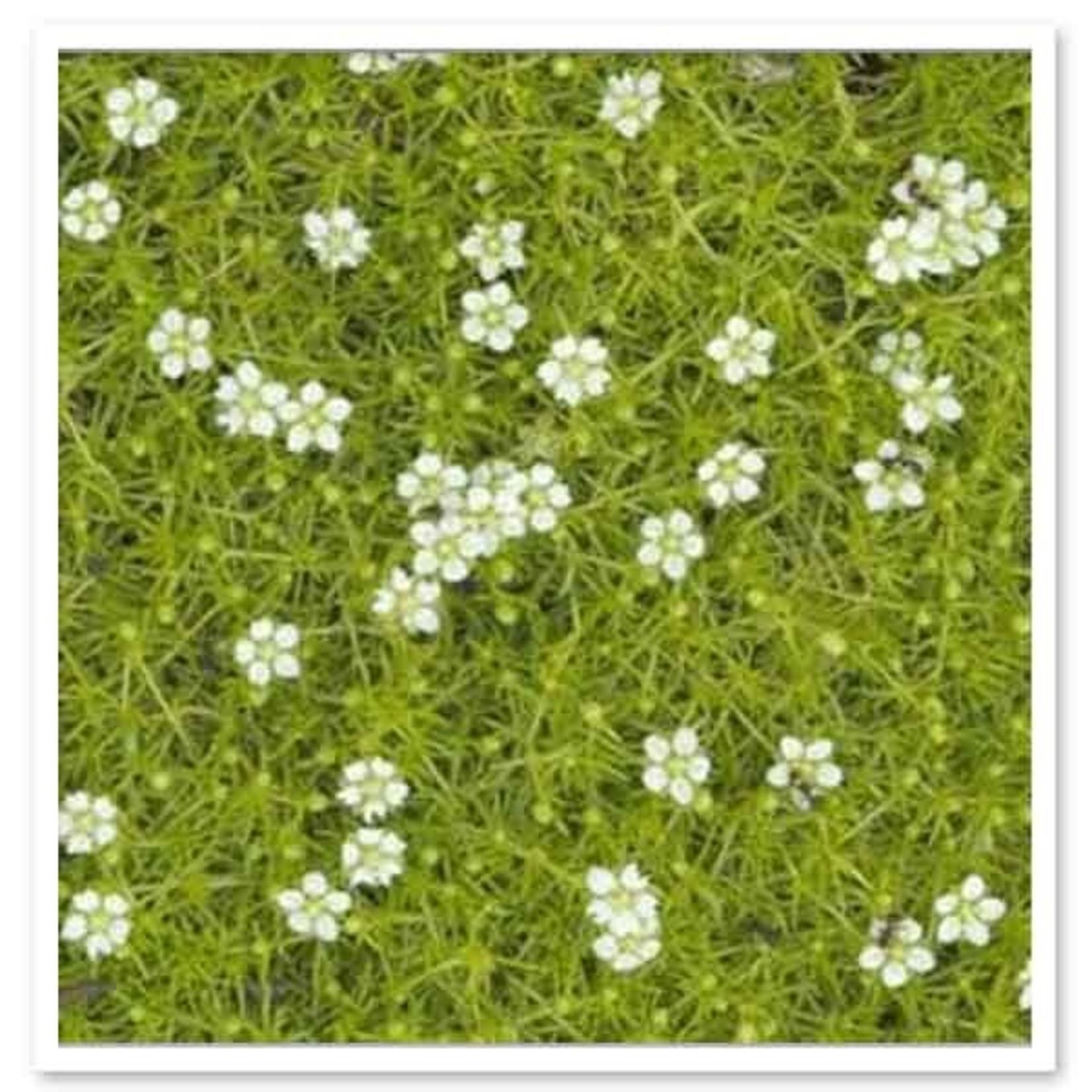 """4"""" Perennial\ Scotch Moss - Sagina Aurea Scotch - 4"""""""