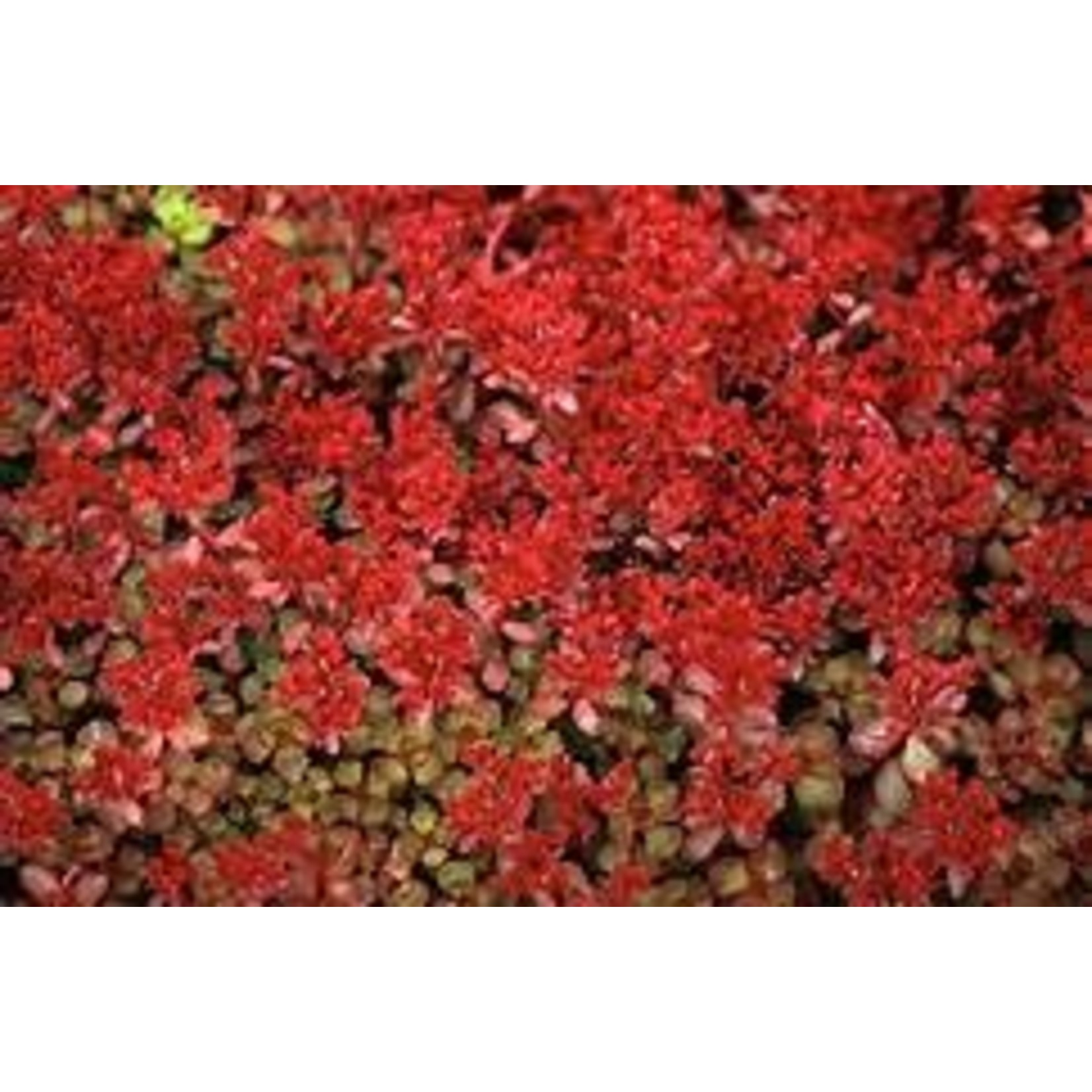 """Stonecrop - Sedum Red Carpet - 4"""""""