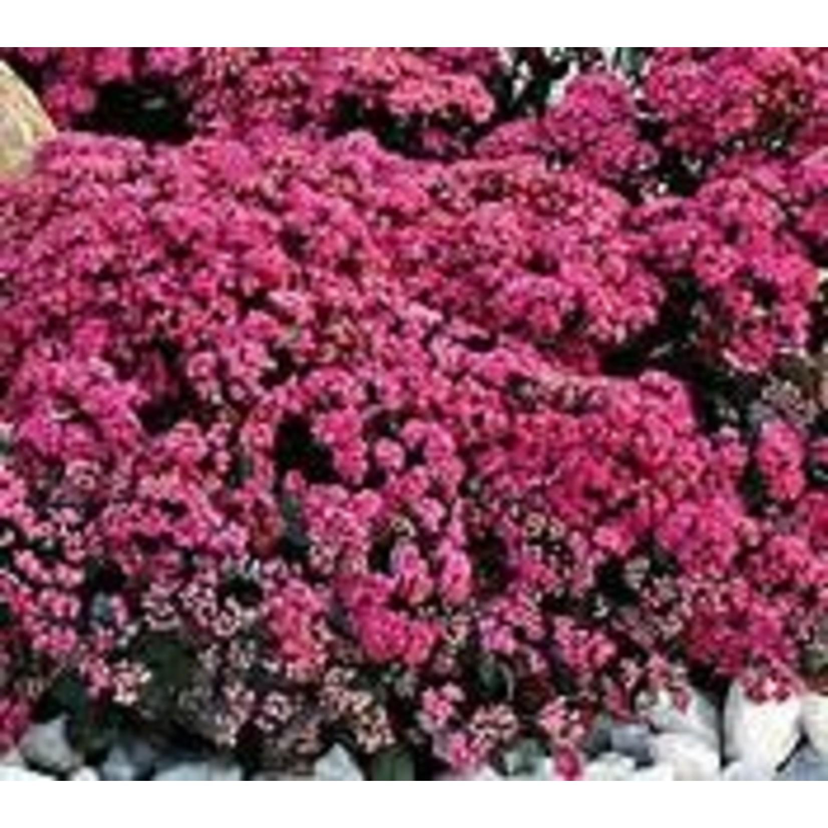 Stonecrop - Sedum Sunsparkle Dazzleberry - 1 gal