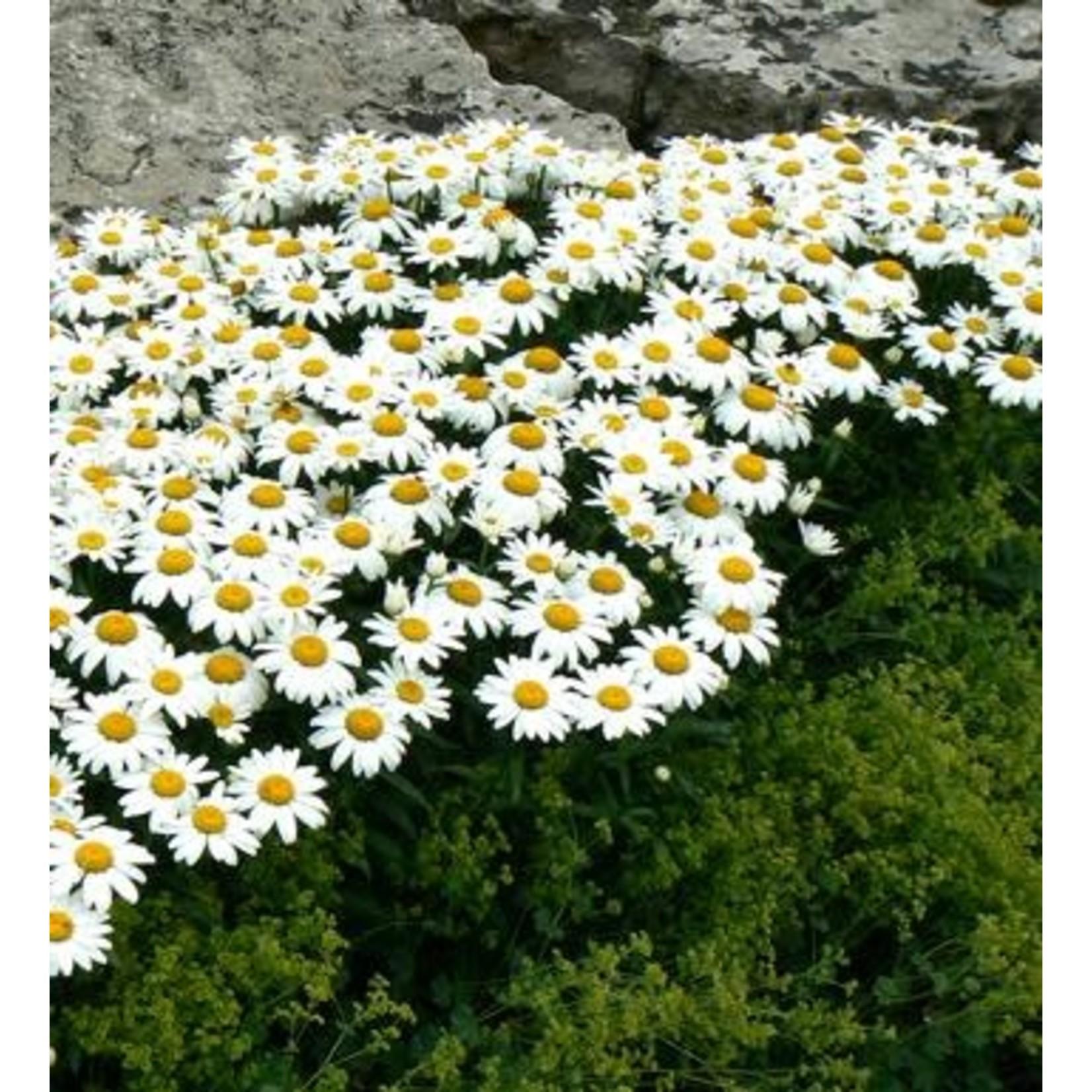 Shasta Daisy - Leucanthemum Snow Cap